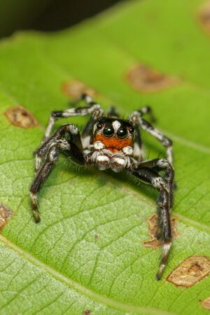 Image of Jumping spiders (Salticidae) on green leaves. Stockfoto