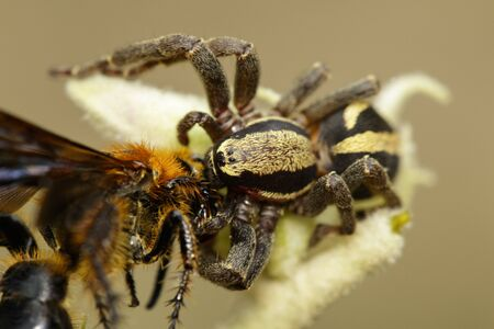 Image of gray wall jumper spider male (Menemerus bivittatus) that are eating prey(wasp) on branch on natural