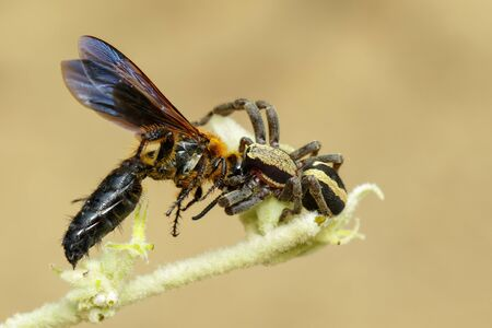Image of gray wall jumper spider male (Menemerus bivittatus) that are eating prey (wasp) on branch on natural