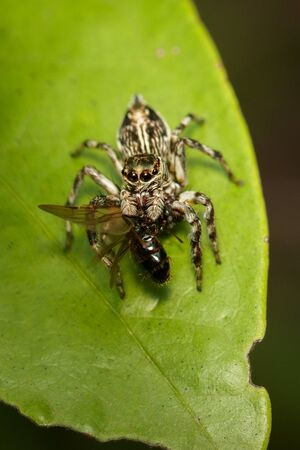 Image of jumping spiders (Salticidae) that are eating prey on green leaves. Stockfoto