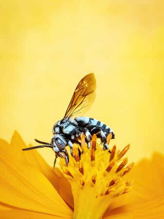 Image of neon cuckoo bee (Thyreus nitidulus) on yellow flower pollen collects nectar on yellow