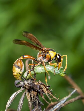 Image of paper wasp was eating the worm victim.