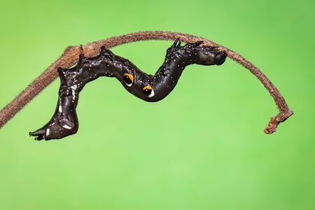 Image of black caterpillar on the branches on a natural