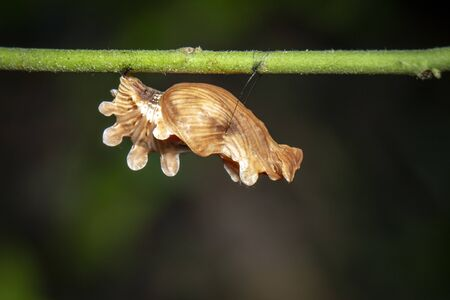 Image of Pupa brown of butterfly on a natural