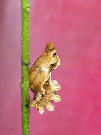 Image of Pupa brown of butterfly on a pink