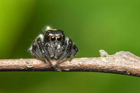 Image of jumping spiders (Salticidae) on a branch on a natural