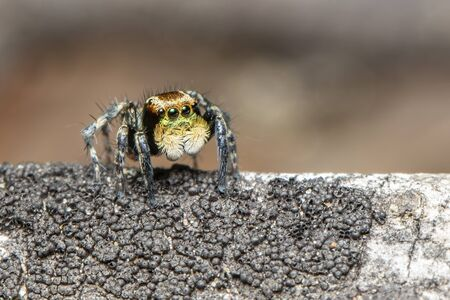 Image of jumping spiders (Salticidae) on a natural