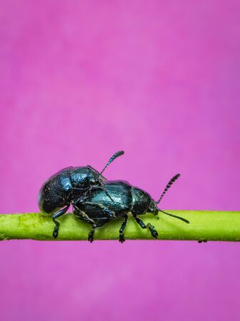 Image of blue milkweed beetle (Chrysochus pulcher) are mating on the branches on a pink