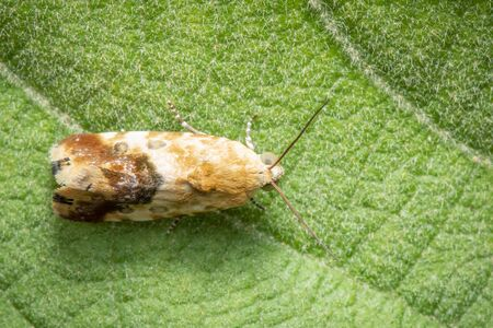 Image of brown Moth on green leaves