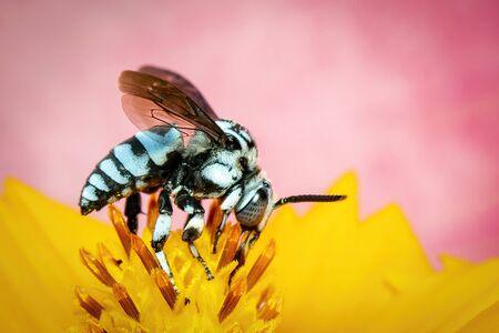 Image of neon cuckoo bee (Thyreus nitidulus) on yellow flower pollen collects nectar on pink Stockfoto