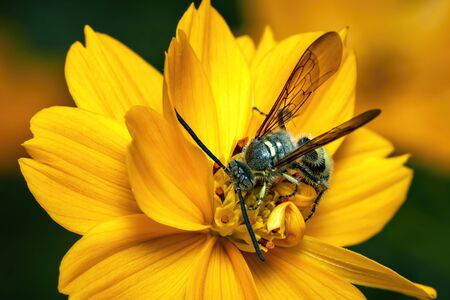 Image of Beewolf or Beewolves (Philanthus) on yellow flower on a natural