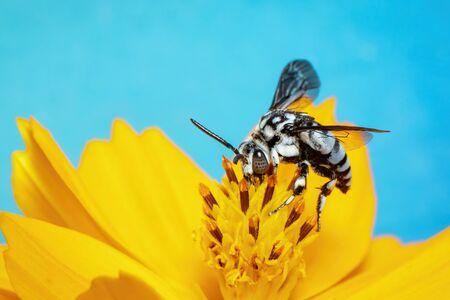 Image of neon cuckoo bee (Thyreus nitidulus) on yellow flower pollen collects nectar on blue Stockfoto
