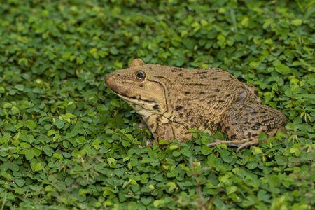 Bild des chinesischen essbaren Frosches, des ostasiatischen Ochsenfrosches, des taiwanesischen Frosches (Hoplobatrachus rugulosus) auf dem Rasen. Amphibie. Tier. Standard-Bild