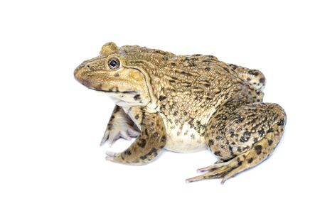 Image de grenouille comestible chinoise, grenouille taureau d'Asie de l'Est, grenouille taïwanaise (Hoplobatrachus rugulosus) isolée sur fond blanc. Amphibie. Animal. Banque d'images