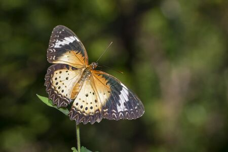 Image of Leopard lacewing Butterfly(Female) on a natural Stock Photo