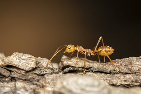 Image of red ant(Oecophylla smaragdina) on tree. Insect. Animal.