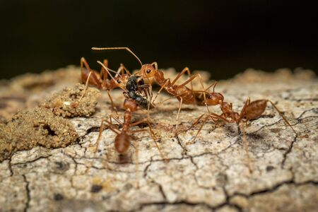 Image of red ant (Oecophylla smaragdina) on tree. Stock fotó