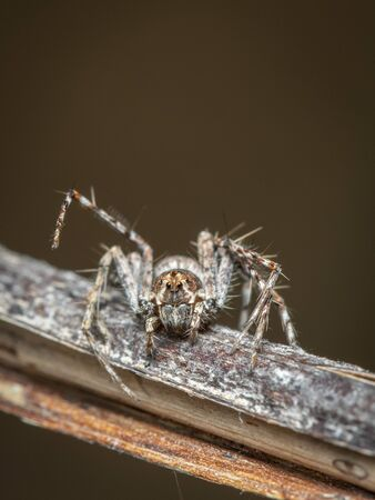 Image of Lynx spiders (Oxyopidae) on a natural background, Insect. Animal. 写真素材