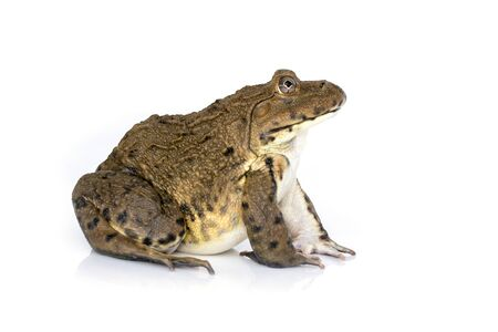 Image of Chinese edible frog, East Asian bullfrog, Taiwanese frog (Hoplobatrachus rugulosus) isolated on a white background. Amphibian. Animal.