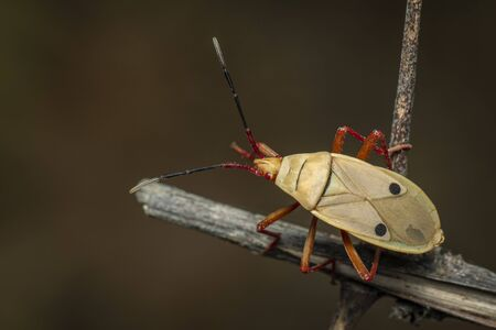 Image of kapok bug (Probergrothius nigricornis) on a tree branch on a natural background. Insect. Animal.