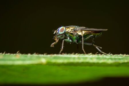 Close-up of Fruit Fly on leaf on a natural background. Insect. Animal.