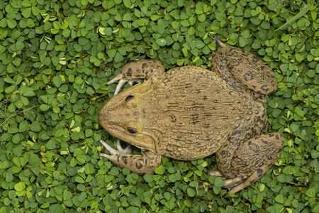 Image of Chinese edible frog, East Asian bullfrog, Taiwanese frog (Hoplobatrachus rugulosus) on the grass. Amphibian. Animal.