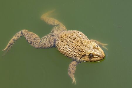 Image of Chinese edible frog, East Asian bullfrog, Taiwanese frog (Hoplobatrachus rugulosus) on the water. Amphibian. Animal.