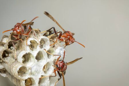 Image of Common Paper Wasp / Ropalidia fasciata and wasp nest on nature