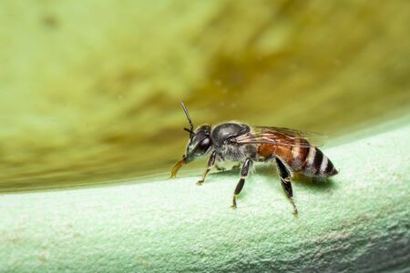 Image of bee hem or dwarf bee(Apis florea) suctioning water on the edge of the sink on a natural background. Insect. Animal.
