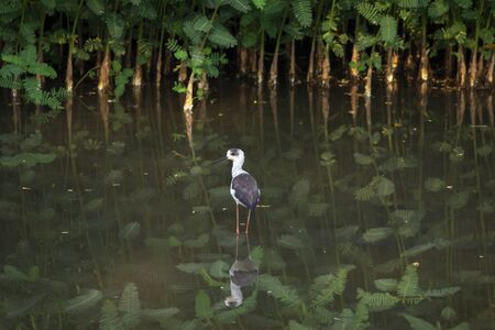 Image of Black-winged Stilt (Himantopus himantopus) are looking for food. Bird. Wild Animals.