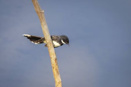 Image of oriental magpie robin (Copsychus saularis) on branch on nature