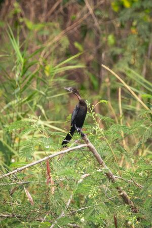 Image of Cormorant or Shag on a branch on nature