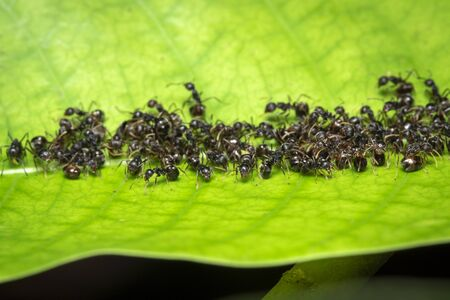 Image of black ant group on the green leaves. Insect. Animal.