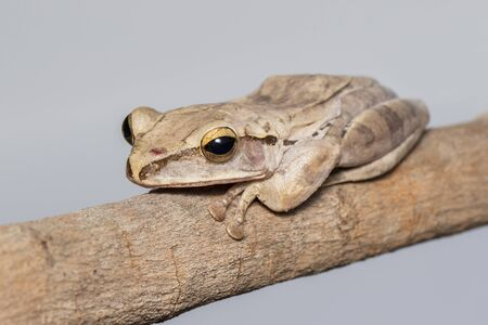 Image of Common tree frog, four-lined tree frog on a branch.