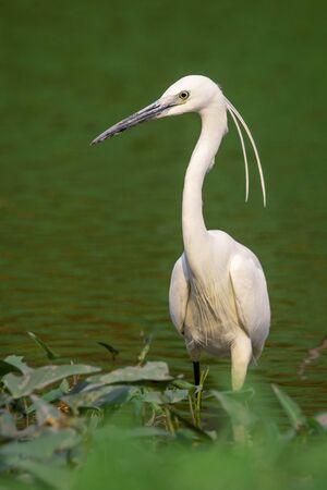 Image of little egret (Egretta garzetta) looking for food in the swamp on nature background. Bird. Animals.