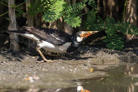 Image of Asian pied myna bird or pied starling (Gracupica contra)  on nature background. Bird. Animals.