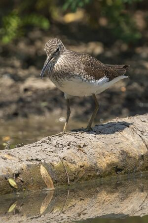 Image of Common Sandpiper bird (Actitis hypoleucos) looking for food in the swamp on nature background. Bird. Animals. Stock Photo