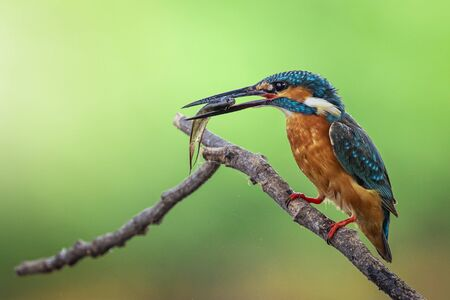 Image of common kingfisher (Alcedo atthis) hold the fish in the mouth and perched on a branch on nature 版權商用圖片
