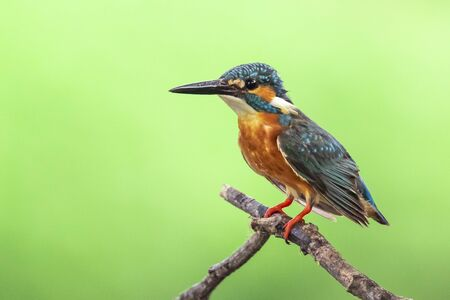 Image of common kingfisher (Alcedo atthis) perched on a branch on nature