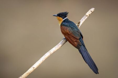 Image of Chestnut-winged Cuckoo bird (Clamator coromandus) on a branch on nature