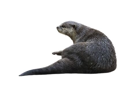 Image of a otter(Lutrinae) isolated on white background. Wild Animals. 写真素材