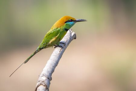 Image of Green Bee-eater bird(Merops orientalis) on a tree branch on nature background. Bird. Animals.