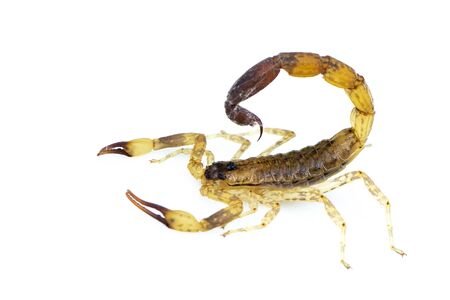 Image of brown scorpion isolated on white background. Insect. Animal.