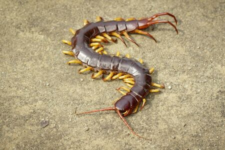 Image of centipedes or chilopoda on the ground.