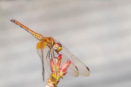 Image of orange dragonfly on nature background. Insect. Animal.