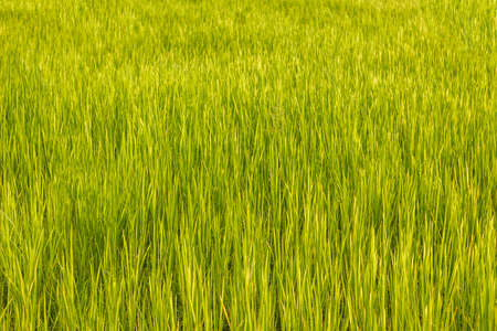 fresh bright green rice field. pure grass field