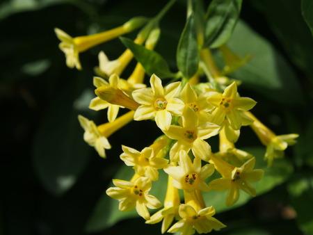 jessamine: Arbusto Giallo Jessamine, Arancione Cestrum Archivio Fotografico