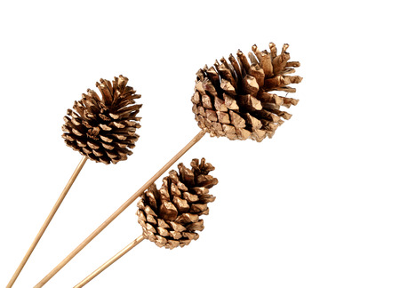 conifer: various conifer cones isolated on white