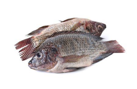 oreochromis: whole round fresh Tilapia fish on white background
