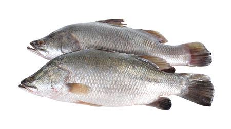 calcarifer: seabass or barramundi fish on white background